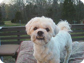 Trapper Adopted Dog Charlotte Nc Bichon Frise Shih Tzu Mix