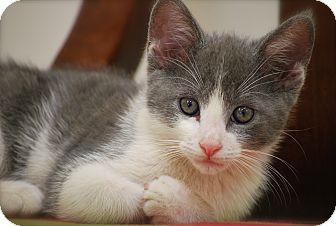 Domestic Shorthair Kitten for adoption in Trevose, Pennsylvania - Barney