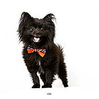 Adopt A Pet :: Ozzie - New York, NY