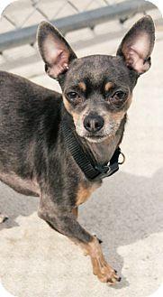Chihuahua Mix Dog for adoption in Lake Odessa, Michigan - Jean Luc