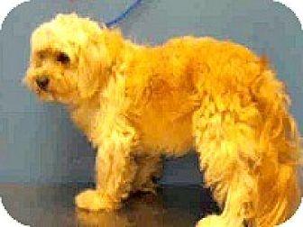 Poodle (Miniature)/Lhasa Apso Mix Dog for adoption in Boulder, Colorado - Marcus-ADOPTION PENDING