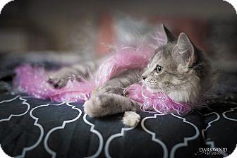 Domestic Mediumhair Kitten for adoption in St. Louis, Missouri - Tennessee