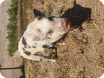 Pig (Potbellied) for adoption in Ontario, California - Mayberry