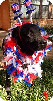 Labrador Retriever Mix Dog for adoption in Wauconda, Illinois - JOHNNY