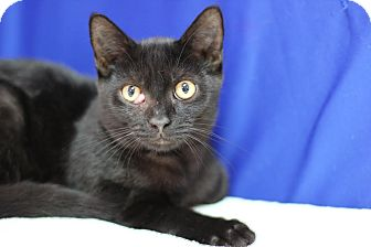 Domestic Shorthair Kitten for adoption in Midland, Michigan - McCann