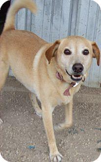 Labrador Retriever Dog for adoption in Von Ormy, Texas - GIZMO