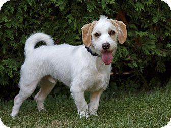 Terrier (Unknown Type, Medium)/Lhasa Apso Mix Dog for adoption in Rigaud, Quebec - Clancy