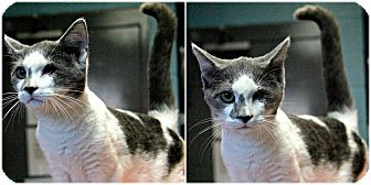Domestic Shorthair Kitten for adoption in Forked River, New Jersey - Lefty