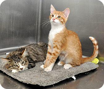 Domestic Shorthair Kitten for adoption in Oakdale, California - Gordo