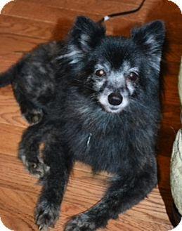 Pomeranian Dog for adoption in Dallas, Texas - Boo-Boo