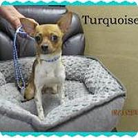 Adopt A Pet :: Turquoise - Shawnee Mission, KS