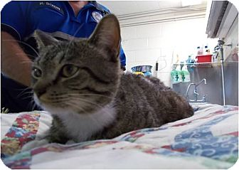Domestic Shorthair Cat for adoption in Copperas Cove, Texas - Snickers