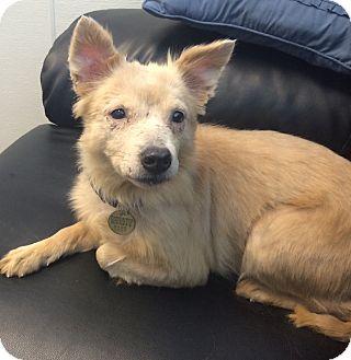 American Eskimo Dog/Sheltie, Shetland Sheepdog Mix Dog for adoption in Oak Ridge, New Jersey - Brianna