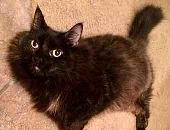 Domestic Shorthair Cat for adoption in Kyle, Texas - PRECIOUS