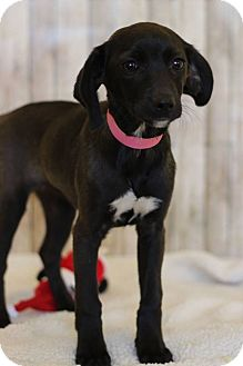 Terrier (Unknown Type, Small)/Labrador Retriever Mix Puppy for adoption in Waldorf, Maryland - Carla