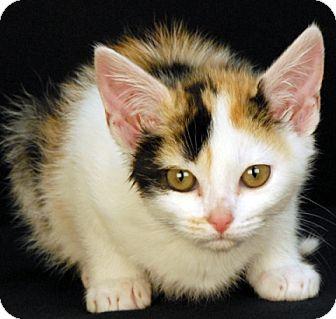 Calico Kitten for adoption in Newland, North Carolina - Evergreen