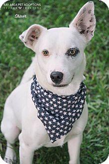 Labrador Retriever/Pointer Mix Puppy for adoption in San Leon, Texas - Shiner