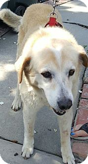 Labrador Retriever/Golden Retriever Mix Dog for adoption in Riverside, California - Winston
