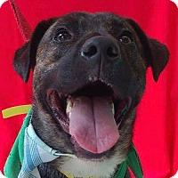 Adopt A Pet :: Lil Man *Adopt or Foster* - Fairfax, VA