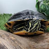 Adopt A Pet :: Raphael - Pefferlaw, ON