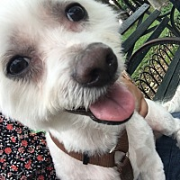 Maltese Mix Dog for adoption in Brooklyn, New York - Chester