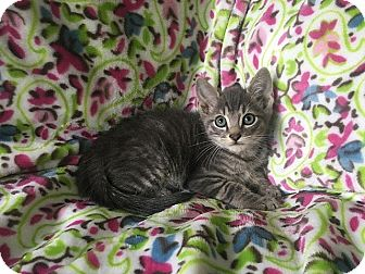 Domestic Shorthair Kitten for adoption in Tampa, Florida - Kovu
