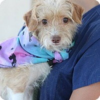 Terrier (Unknown Type, Small) Mix Dog for adoption in Allentown, Pennsylvania - Sparrow