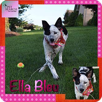 Australian Cattle Dog Puppy for adoption in Washington, Pennsylvania - Ella Bleu