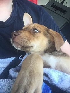 Labrador Retriever/Rottweiler Mix Puppy for adoption in BONITA, California - Artemis