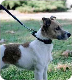 Jack Russell Terrier Dog for adoption in Rhinebeck, New York - Willow