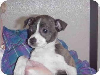 Boston Terrier/Feist Mix Puppy for adoption in Manassas, Virginia - tampa