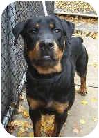 Rottweiler Dog for adoption in Oswego, Illinois - BENNY