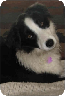 Border Collie Mix Dog for adoption in Glenrock, Wyoming - Chili