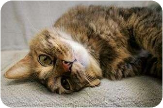 Domestic Mediumhair Cat for adoption in Phoenix, Oregon - Rusty