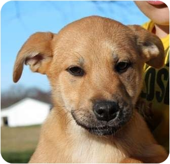 Labrador Retriever Mix Puppy for adoption in Salem, New Hampshire - Where