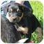 Photo 1 - Rottweiler Mix Puppy for adoption in Spring Valley, New York - Miss Piggy