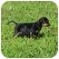 Photo 3 - Rottweiler Mix Puppy for adoption in Spring Valley, New York - Miss Piggy