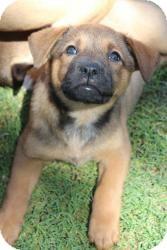 Boxer/Shepherd (Unknown Type) Mix Puppy for adoption in justin, Texas - Callie