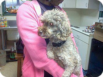 Poodle (Miniature) Dog for adoption in Concord, Georgia - Mr. Bingley