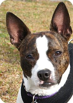 boston terrier jack russell pogo adopted dog 00137 north augusta sc boston 1036