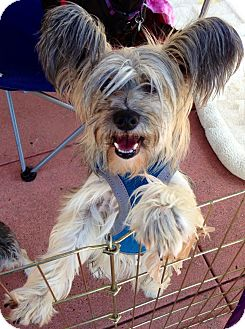 Chinese Crested Mix Dog for adoption in San Diego, California - Lilac