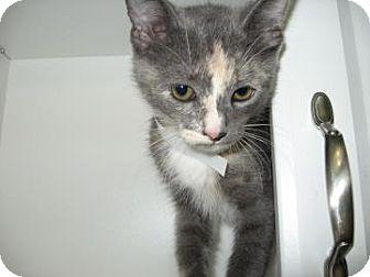 Domestic Shorthair Kitten for adoption in Bradenton, Florida - Mackenzi