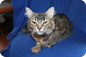 Maine Coon Cat for adoption in Battle Creek, Michigan - Bailey