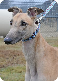 Greyhound Dog for adoption in Glastonbury, Connecticut - Godfrey