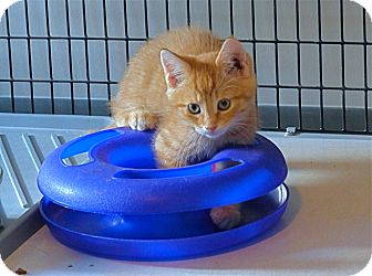 Domestic Shorthair Kitten for adoption in Victor, New York - Bobby