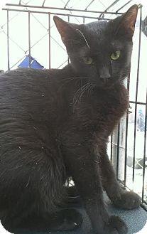 Domestic Shorthair Kitten for adoption in Westminster, California - T.J.