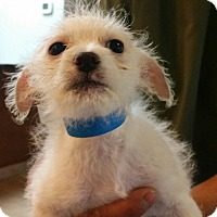 Adopt A Pet :: Callie - soft wirey cutie! - Phoenix, AZ