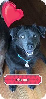 Labrador Retriever/Weimaraner Mix Dog for adoption in Homewood, Alabama - Reign