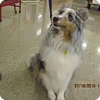 Adopt A Pet :: Indie - apache junction, AZ