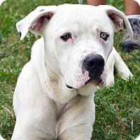 Adopt A Pet :: William - Springfield, IL